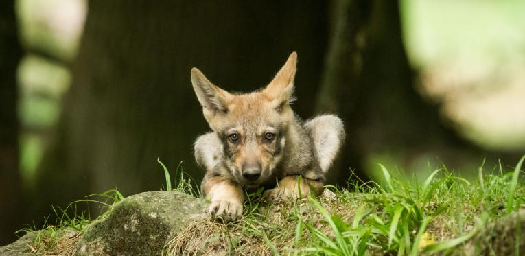Wolf-Welpe-Wald