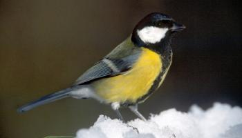 Kohlmeise / Parus Major