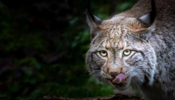 Luchs-hungrig