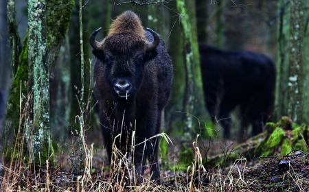 Wisent-Wald-jung