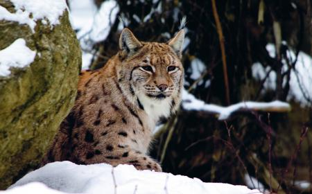 Luchs-Winter