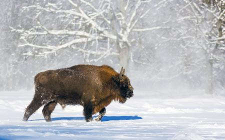Wisent-im-Winter
