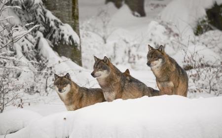 Wolf-Rudel-in-Winter